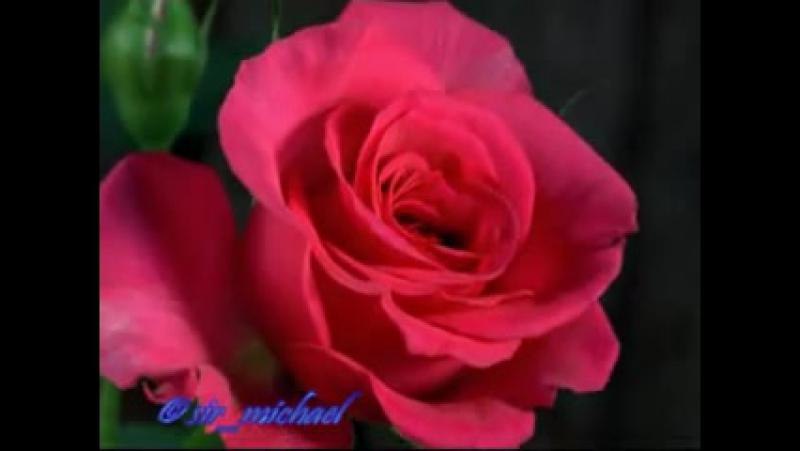 як розпускаються троянди