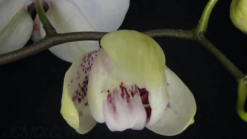 Поздравлениями, орхидеи гифы