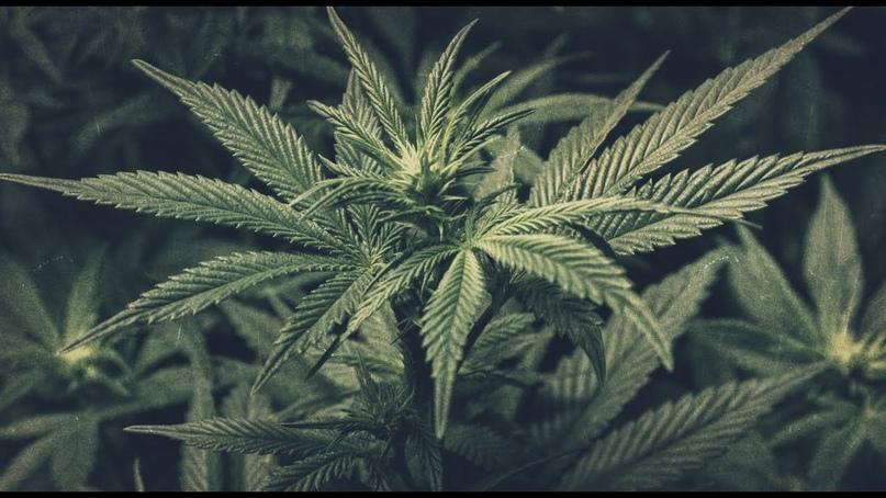 В каких целях используют марихуана что делают из марихуаны