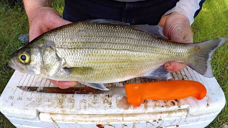 Catch and Cook White Bass - How to catch white bass striper - Fishing for white bass.