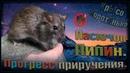 (О) Пасюк умывается, или как изменился Пипин. Прогресс приручения дикаря. (Wild Rats)