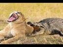 사자 vs 악어 엄청난전투! Lion vs Crocodile!