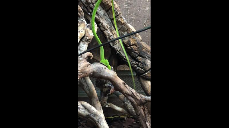 Плетевидная змея Ahaetulla prasina