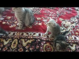 Продаем шотландских котят