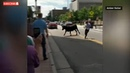 Only in America Cowboy Lassoes Rampaging Longhorn in Downtown Colorado Springs