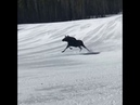 Woman Freaks Out When Moose Chases Her Down Slope While Skiing