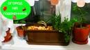 Огород на подоконнике или зелень к блюдам на Новый Год
