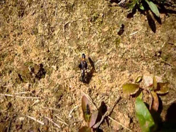 Муравей-мутант, прокатившись на гусенице, закапывает её на Чёрный день