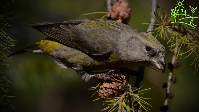 Голоса птиц Как поёт Клёст Loxia curvirostra