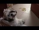 Собака метит дома Почему и как отучить Жизнь с ши тцу