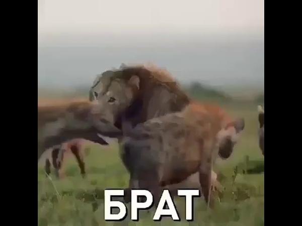 Даже если ты лев бывает так что тебе необходим Брат