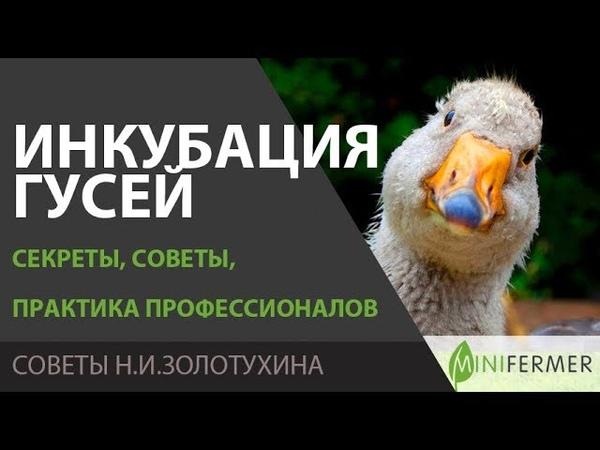 ИНКУБАЦИЯ ГУСЕЙ Секреты инкубации гусиных яиц советы что думают профессионалы Н И Золотухин