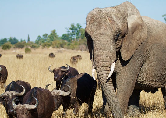Самоидентификация Живу я в Зимбабве. Довелось мне на днях посетить один из местных заповедников. В нем живет 50-летняя слониха, которую зовут Слониха (правда на языке шона), видимо, чтобы не