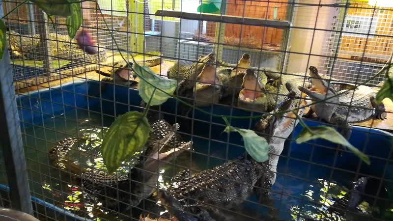 кормление крокодила.mp4