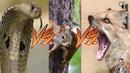 Драки между животными!
