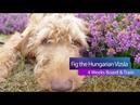 Fig - 8 Month Old Hungarian Vizsla - 4 Weeks Residential Dog Training