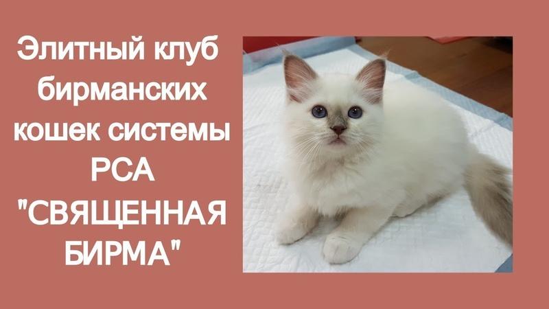 Клуб бирманских кошек СВЯЩЕННАЯ БИРМА