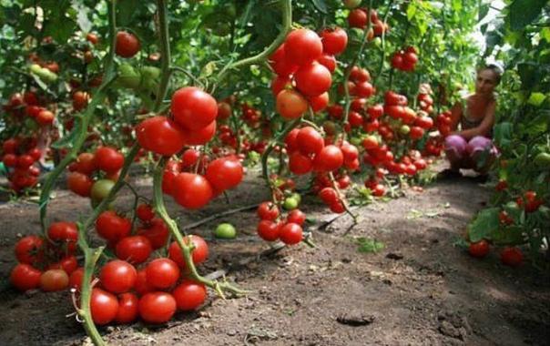 ЭФФЕКТИВНЫЙ СПОСОБ ВЫРАЩИВАНИЯ ПОМИДОРОВ ИЗ ПАСЫНКОВ Одним из способов, который используется для размножения томатов на участке, является укоренение пасынков. Его проводят тогда, когда пасынки