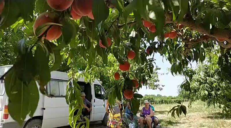 Фруктовый сад и наши друг Дато. ИНЖИР, персики, нектарины, абрикосы.