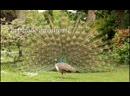 Parade nuptiale d'un paon bleu au lac Daumesnil à
