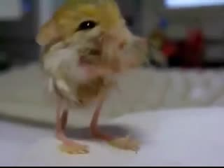 The pygmy jerboa is the smallest rodent in the world, and one of the smallest mammals, at only 4.4 cm (1.7 in) in head and body