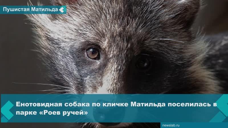 Енотовидная собака по кличке Матильда поселилась в парке «Роев ручей»