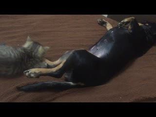 Нападение злого хищника на беззащитную собаку