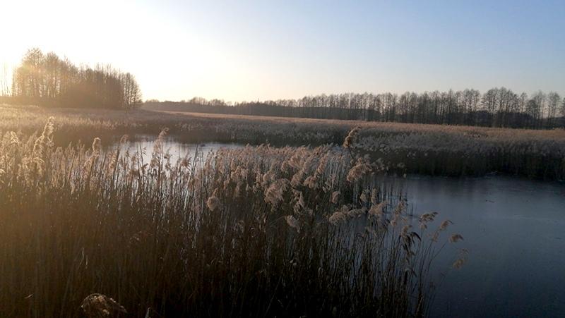 В Пружанском районе охотники спасли примерзших ко льду лебедей