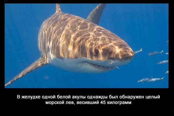 валтея - Интересные факты о акулах / Хищники морей.(Видео. Фото) AIL0bnRvrj4