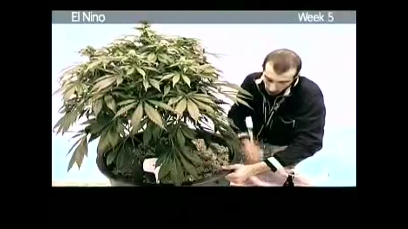 Green House Seed Co El Nino Grow with Japanese Subtitles