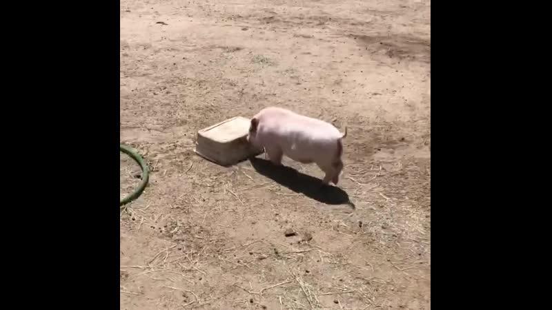 Больше эммет играя с его ведра на ферме животных приют