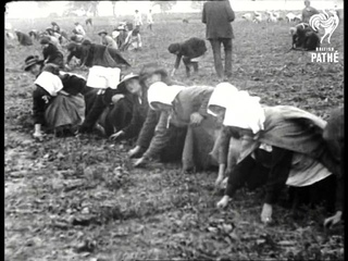 To Relieve Tonnage - Thousands Of Women Employed In Growing Onions For Home Consumption (1918)