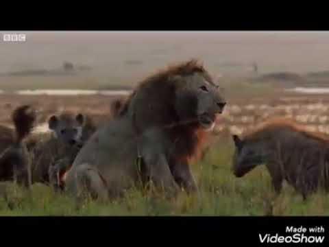 Dacă n ai un frate hienele te vor mânca
