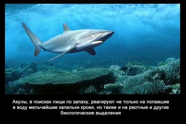 Valteya - Интересные факты о акулах / Хищники морей.(Видео. Фото) - Страница 2 St1c4NFRA2g