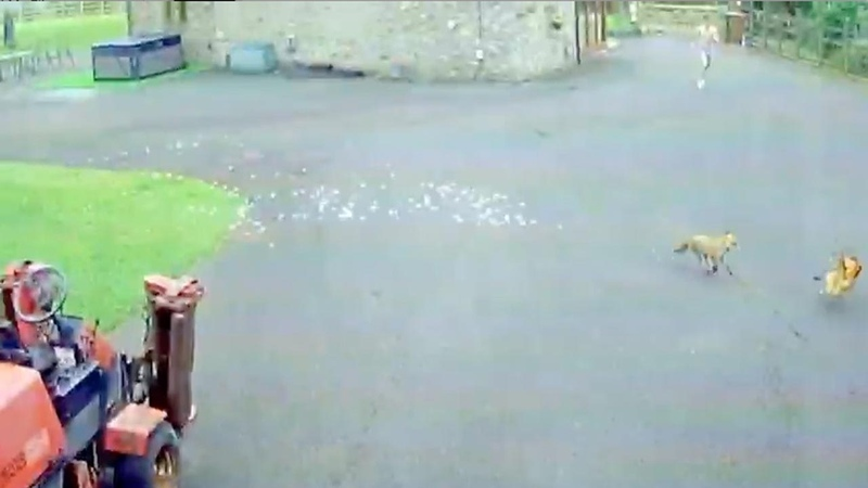 CCTV Shows Chase Between Teenager Fox And Chicken