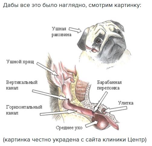 строение уха кота в картинках просто