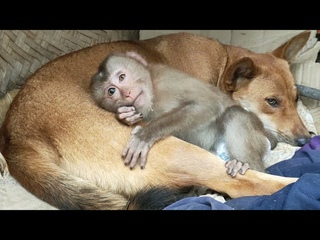 Monkey dog cute || Little Monkey thinks she is the daughter of the dog mother