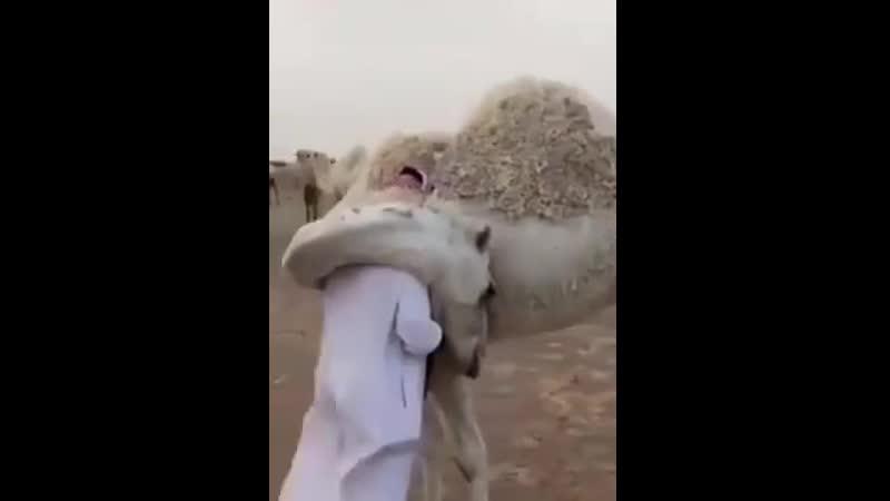Хозяин стада верблюдов пропал на несколько дней По его возвращению любовь излитая на него одним из его верблюдов самая чиста