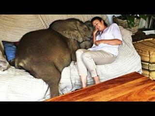 Спасенный слоненок так полюбил свою приемную маму, что не отходит ни на шаг! Невероятная история