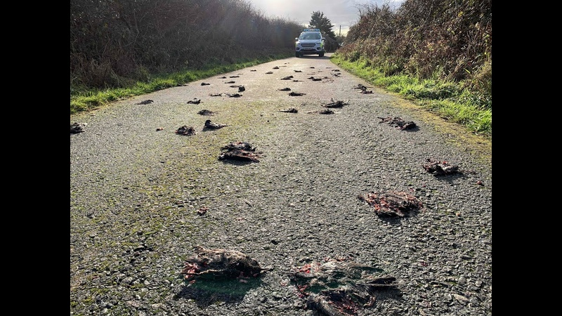Ein komplettes Rätsel: Hunderte tote Vögel auf Straße in Wales gefunden