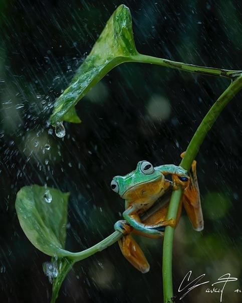 Лягушки от фотографа Танто Йенсен Фотограф Tanto Yensen получил известность благодаря своим фотографиям лягушек и прочих земноводных. Tanto Yensen снимает их в любую погоду и при любых условиях: