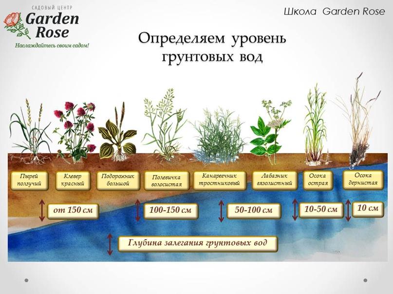 Растения-индикаторы в Вашем саду, изображение №6