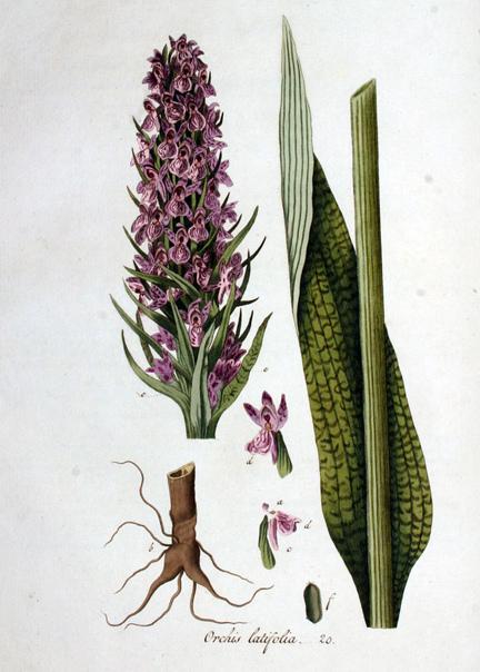 Растения/Как узнать/ КУКУШКИНЫ СЛЁЗКИ/ ПАЛЬЧАТОКОРЕННИК МАЙСКИЙ/ ЯТРЫШНИК ПЯТНИСТЫЙ, изображение №3