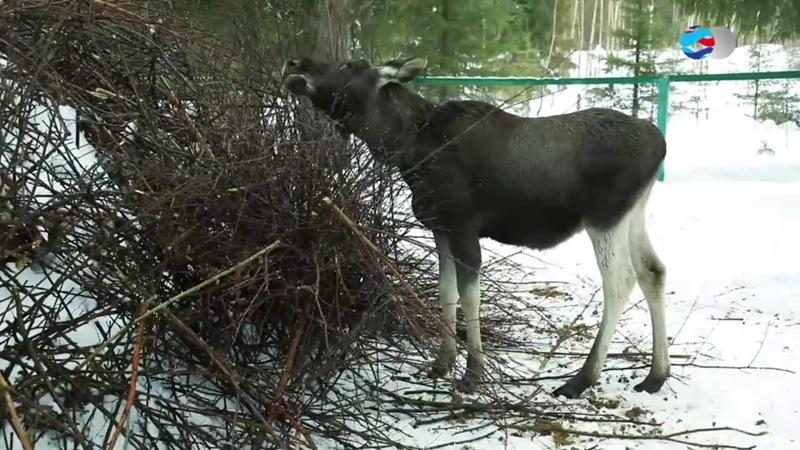 Одомашнивание лосей в Печоро-Илычском заповеднике Республики Коми