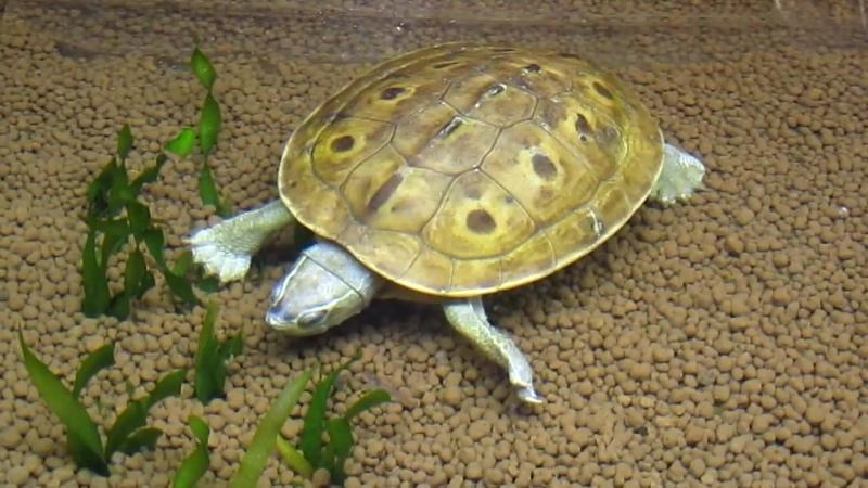 Morenia Ocellata (Burmese Eyed Turtle)