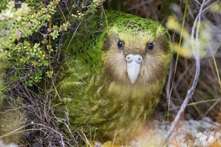Птица года в Новой Зеландии