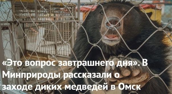 «Это вопрос завтрашнего дня». В Минприроды рассказали о заходе диких медведей в Омск