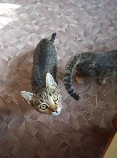 Пристраиваются 2 котенка,ухаживать нет возможности...