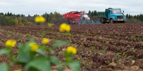 Площадь сева озимых зерновых и масличных культур в...