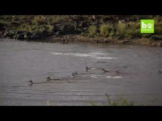 Crocodiles ambush gazelles during great migration